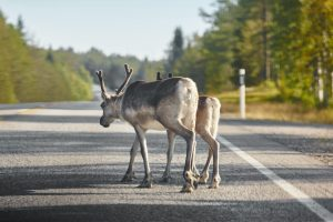 Reindeers crossing a road in Finland. Finnish landscape. Travel background